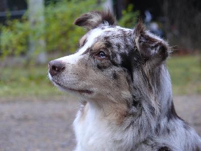 Koiran Anemia
